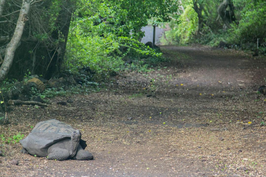 jättiläiskilpikonna Isabela-saarella Galapagossaarilla