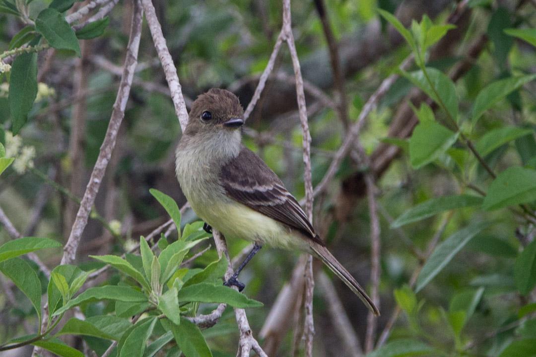 lintu Galapagossaarilla