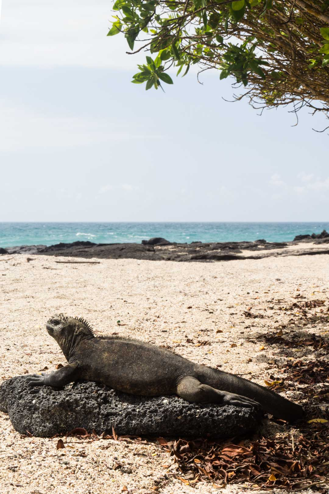 merileguaani Isabela-saarella Galapagossaarilla