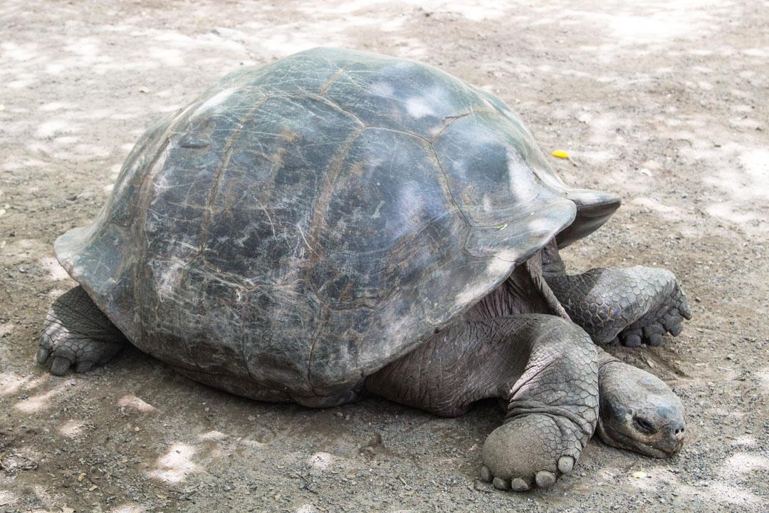 kilpikonnien kasvatuslaitoksella Isabela-saarella Galapagossaarilla