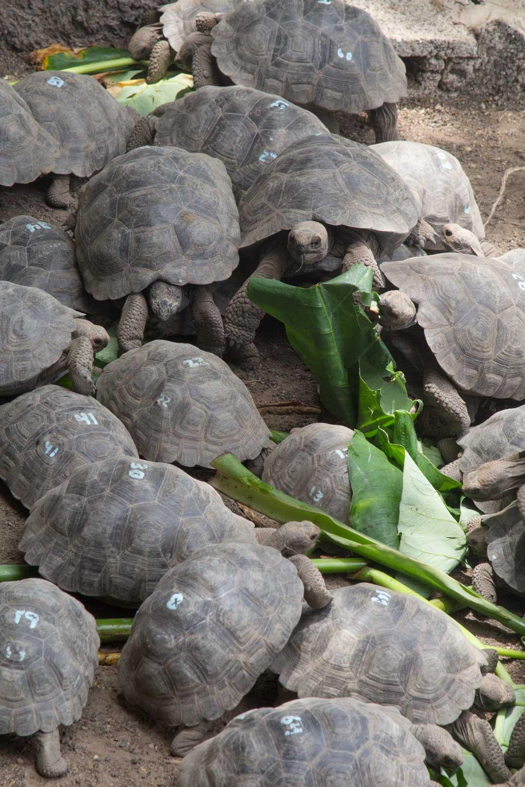 jättiläiskilpikonnien kasvatuslaitoksella Isabela-saarella Galapagossaarilla