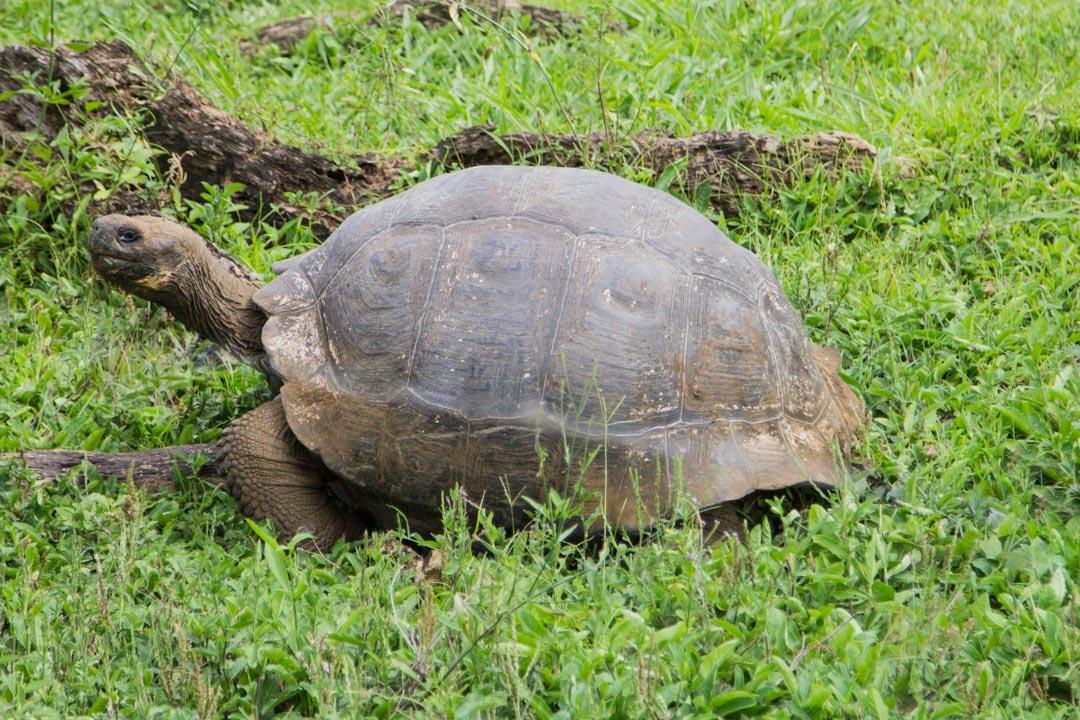 kilpikonna Galapagossaarilla