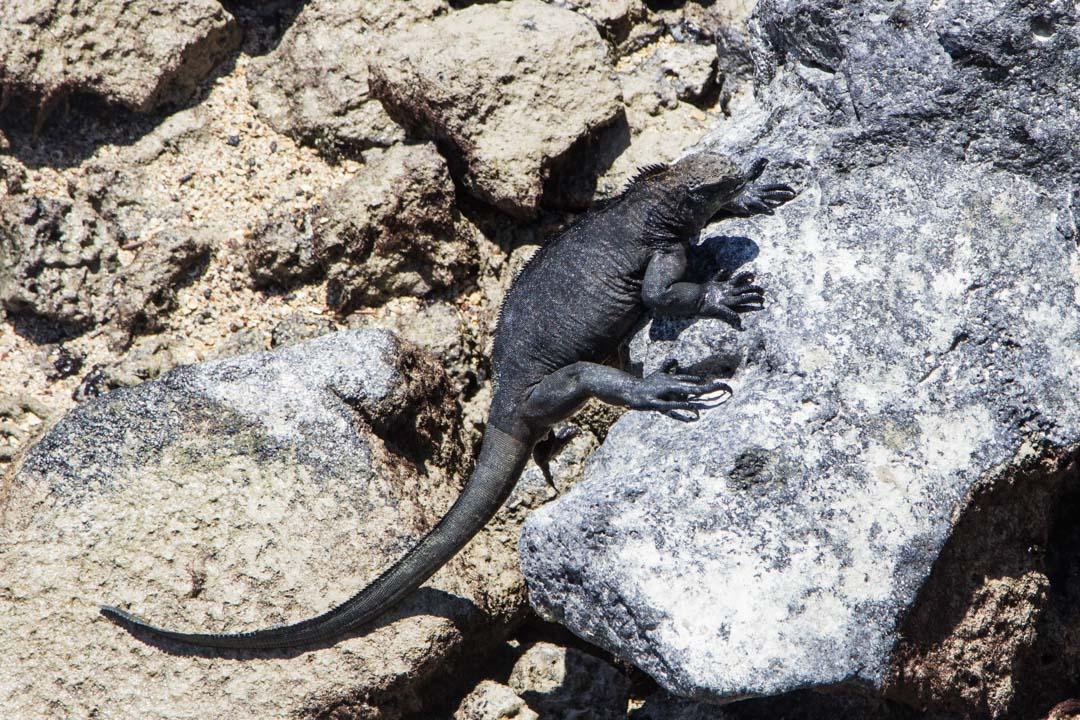 merileguaani Galapagossaarilla