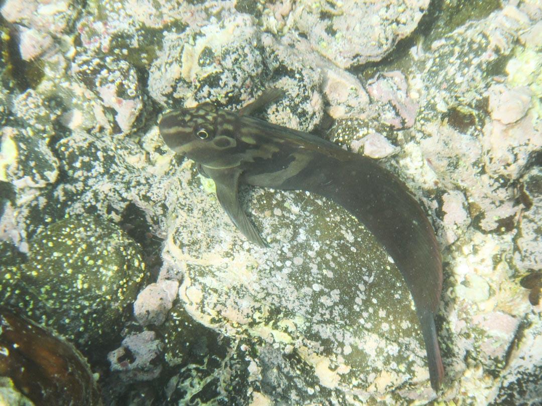 snorklausta Las Tintoteras-saaren edustalla Galapagossaarilla