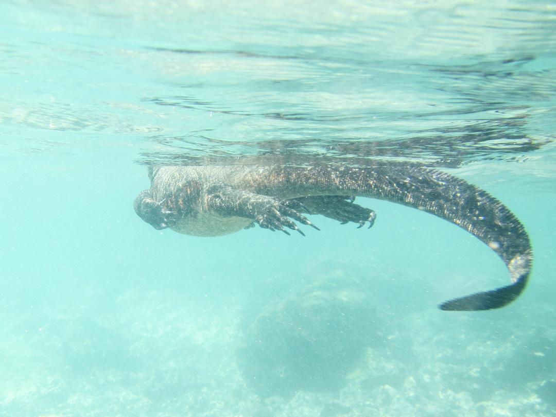 merileguaani ja snorklausta Las Tintoteras-saaren edustalla Galapagossaarilla