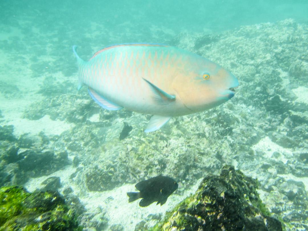 papukaijakala ja snorklausta Las Tintoteras-saaren edustalla Galapagossaarilla