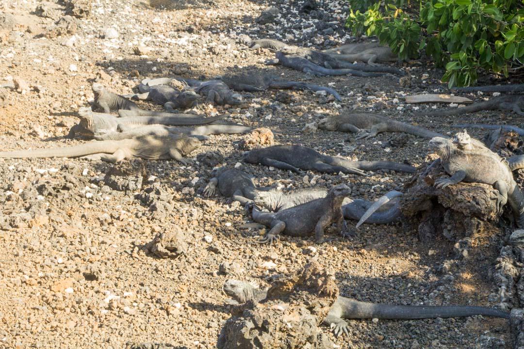 merileguaaneja Las Tintoterasin saarella Galapagossaarilla