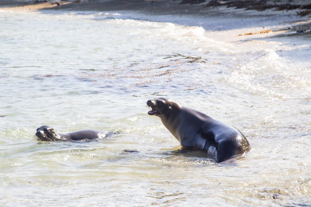 merileijona Las Tintoterasin saarella Galapagossaarilla