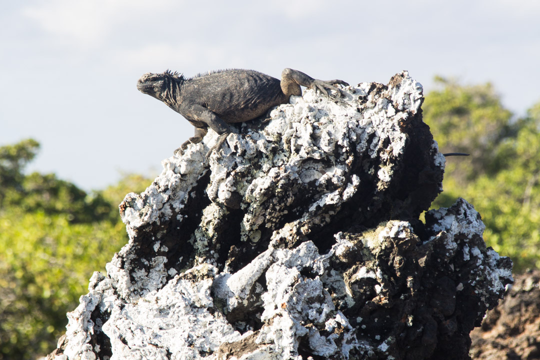 merileguaani Las Tintoterasin saarella Galapagossaarilla