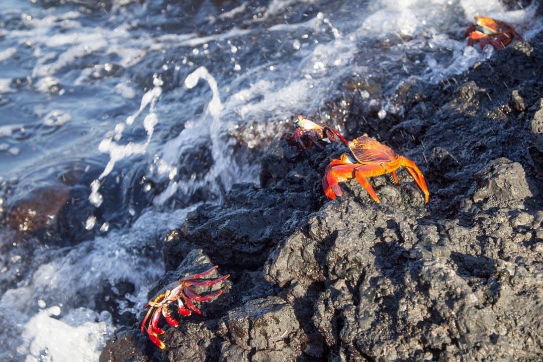 rapuja Las Tintoterasin saarella Galapagossaarilla