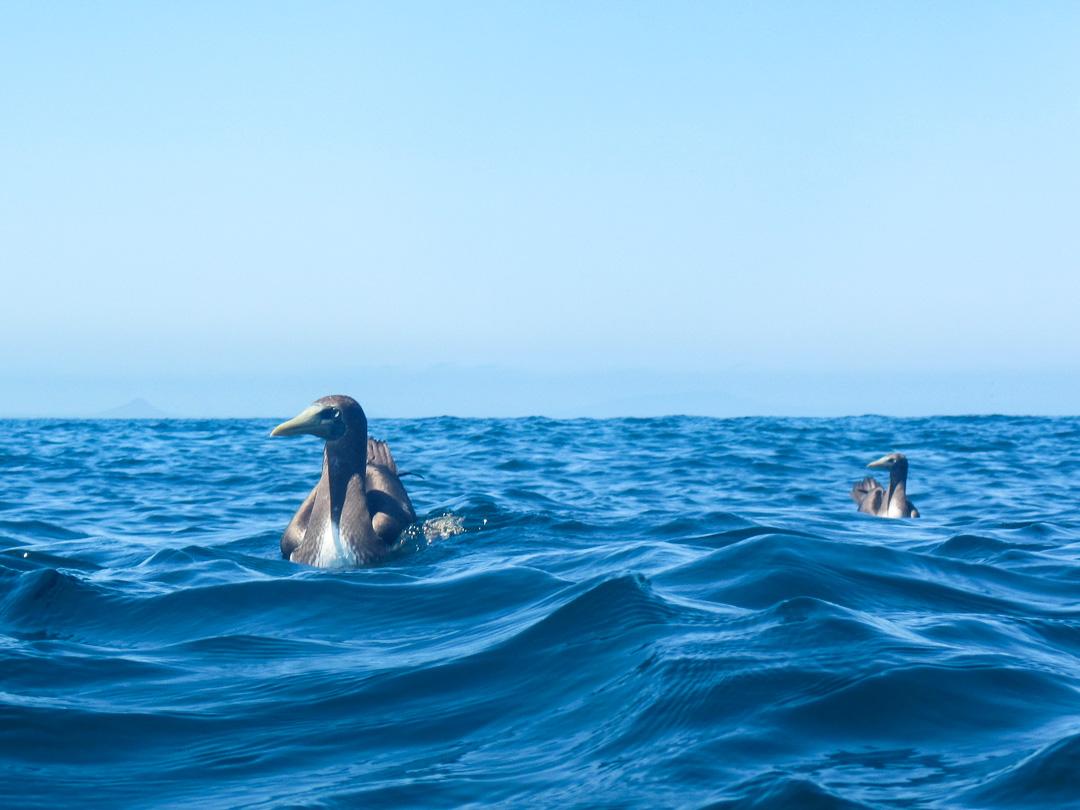 snorklaamassa Daphne-saaren edustalla Galapagossaarilla
