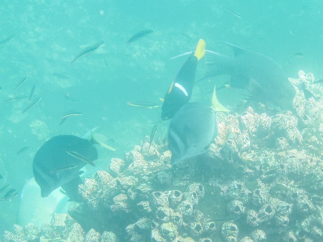 kaloja, snorklaamassa Daphne-saaren edustalla Galapagossaarilla