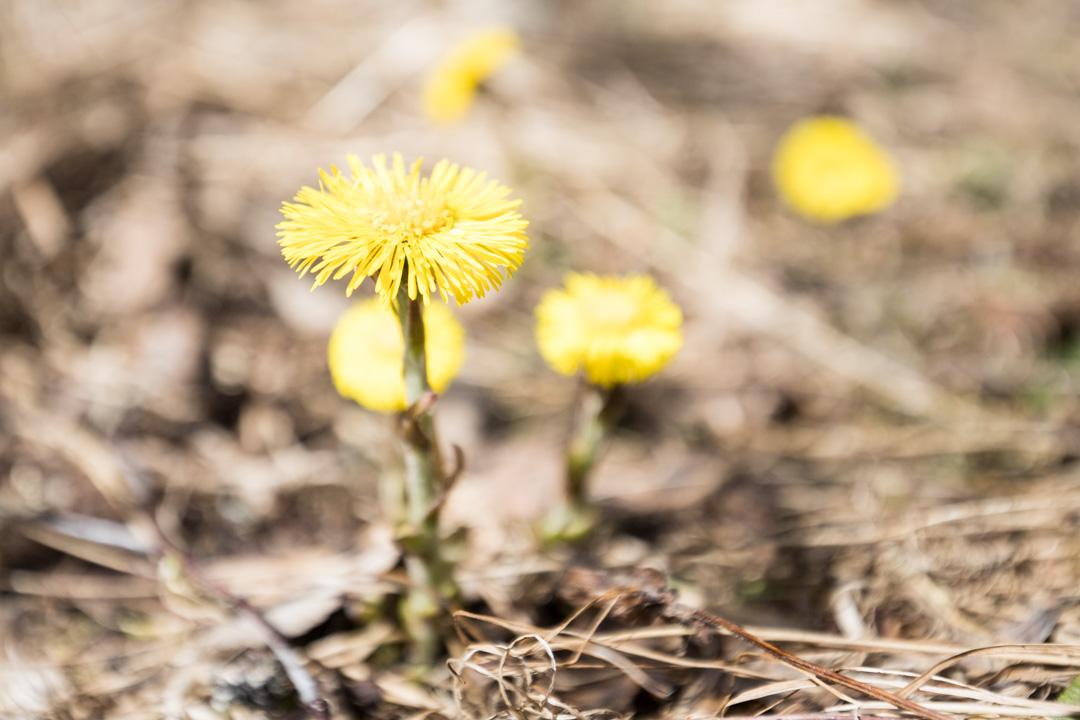 vaeltamassa Etelä-Konneveden kansallispuistossa, leskenlehtiä