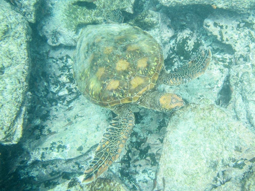 snorklaamassa kilpikonnan kanssa Pinzón-saaren edustalla Galapagossaarilla