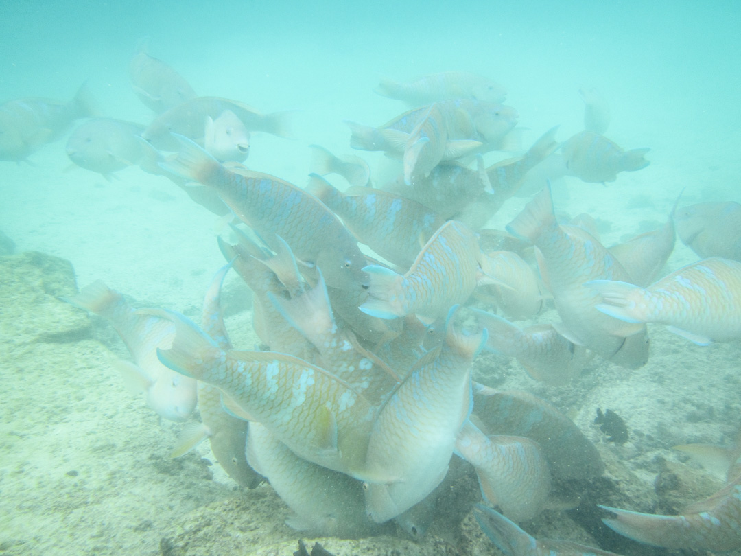 kalaparvi Pinzón-saaren edustalla snorklatessa Galapagossaarilla