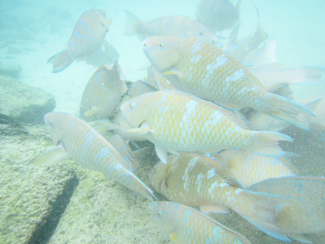 kaloja, snorklaamassa Pinzón-saaren edustalla Galapagossaarilla
