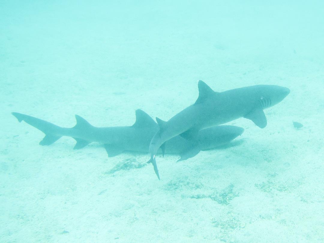 snorklaamassa haiden kanssa Pinzón-saaren edustalla Galapagossaarilla