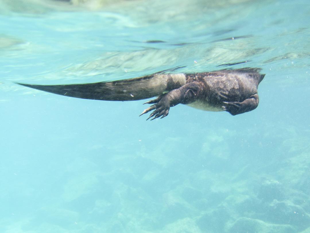 merileguaani vedessä snorklatessa Pinzón-saaren edustalla Galapagossaarilla