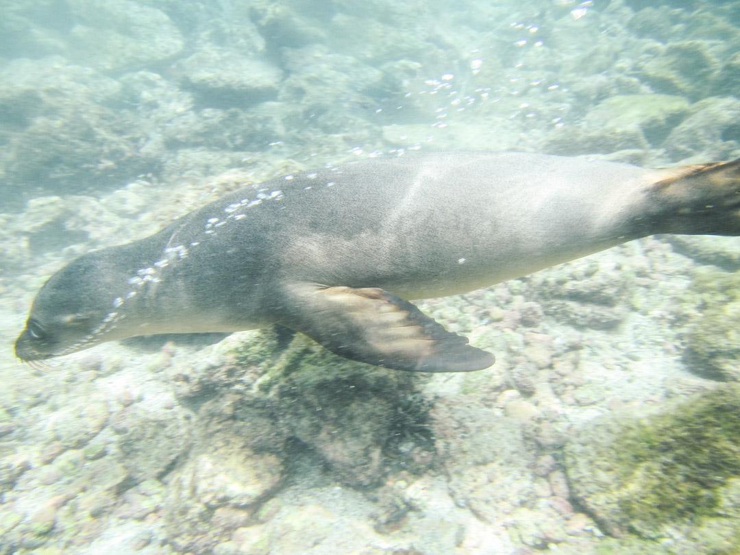 snorklaamassa merileijonien kanssa Pinzón-saaren edustalla Galapagossaarilla