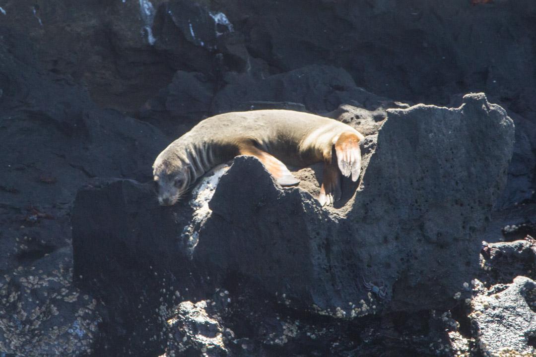 merileijona Galapagossaarilla