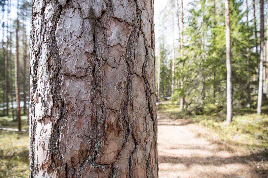 Pyhä-Häkin kansallispuiston kilpikaarnainen mänty