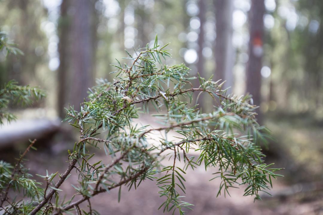 kataja Pyhä-Häkin kansallispuistossa