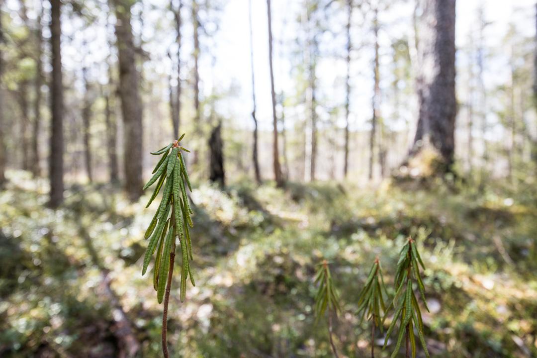 Suopursu Pyhä-Häkin kansallispuistossa