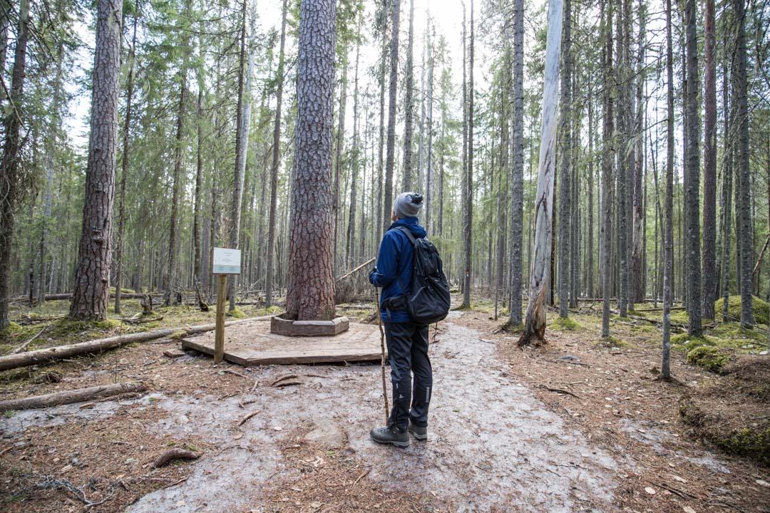 Pyhä-Häkinkansallispuiston  Iso puu