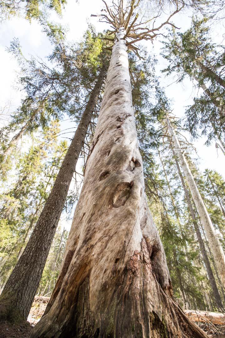 Pyhä-Häkinkansallispuiston Vanha Iso puu