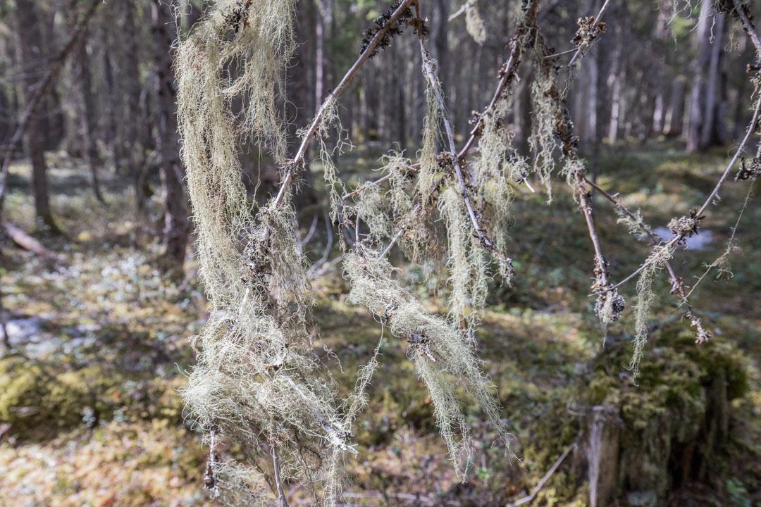naavaa Pyhä-Häkin kansallispuistossa