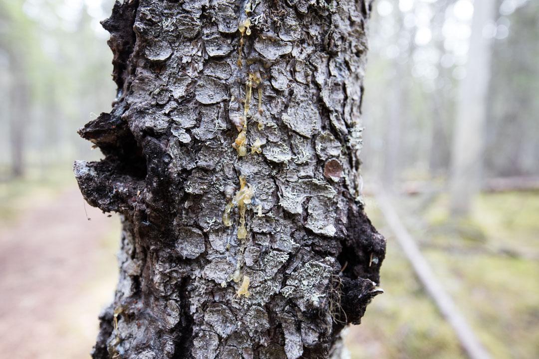 pihkaa puussa Pyhä-Häkin kansallispuistossa