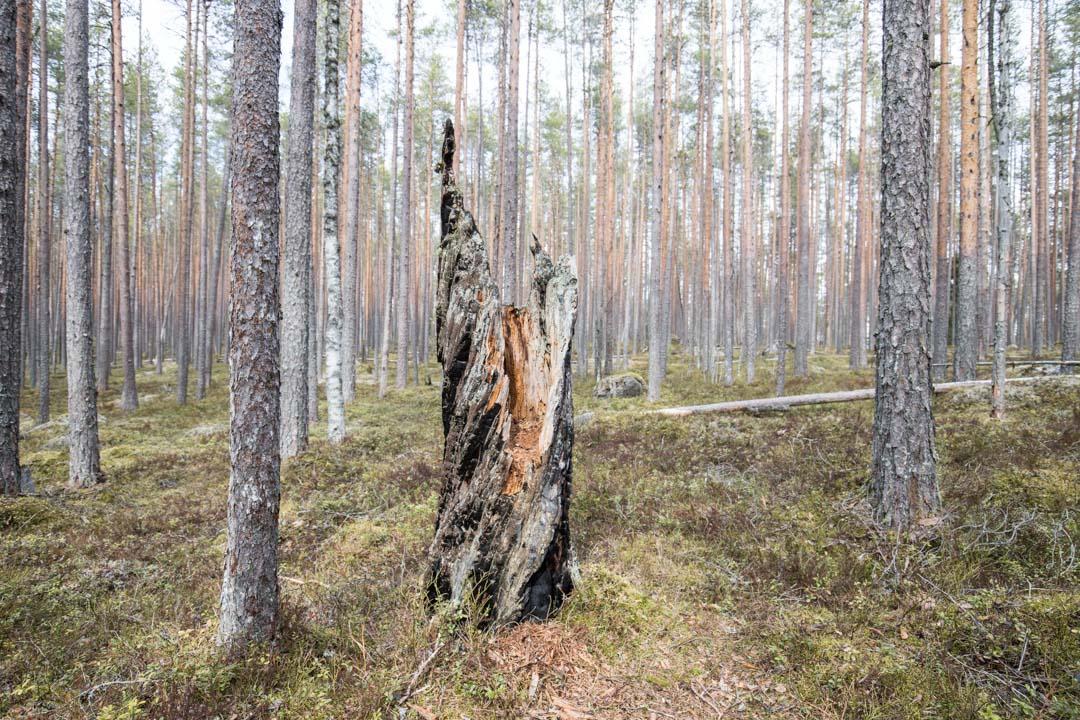 vaeltamassa Pyhä-Häkin kansallispuistossa, palanut puu