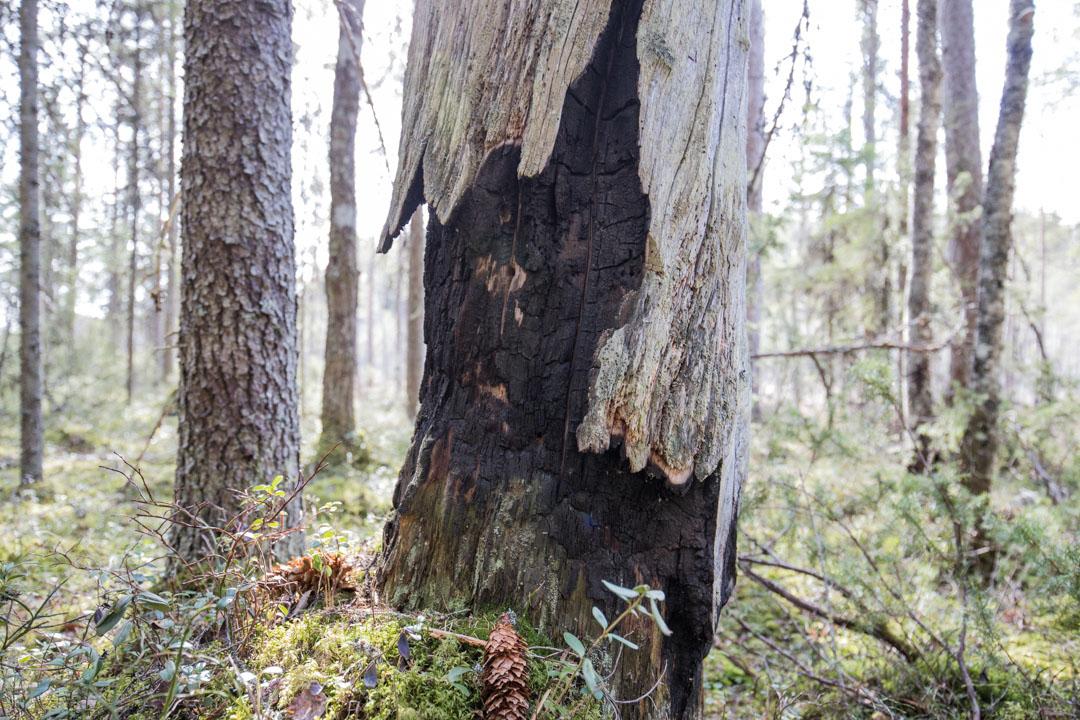 palanut puu Pyhä-Häkin kansallispuistossa