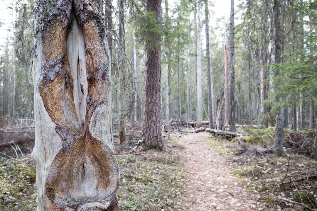 vanha puu Pyhä-Häkin kansallispuistossa