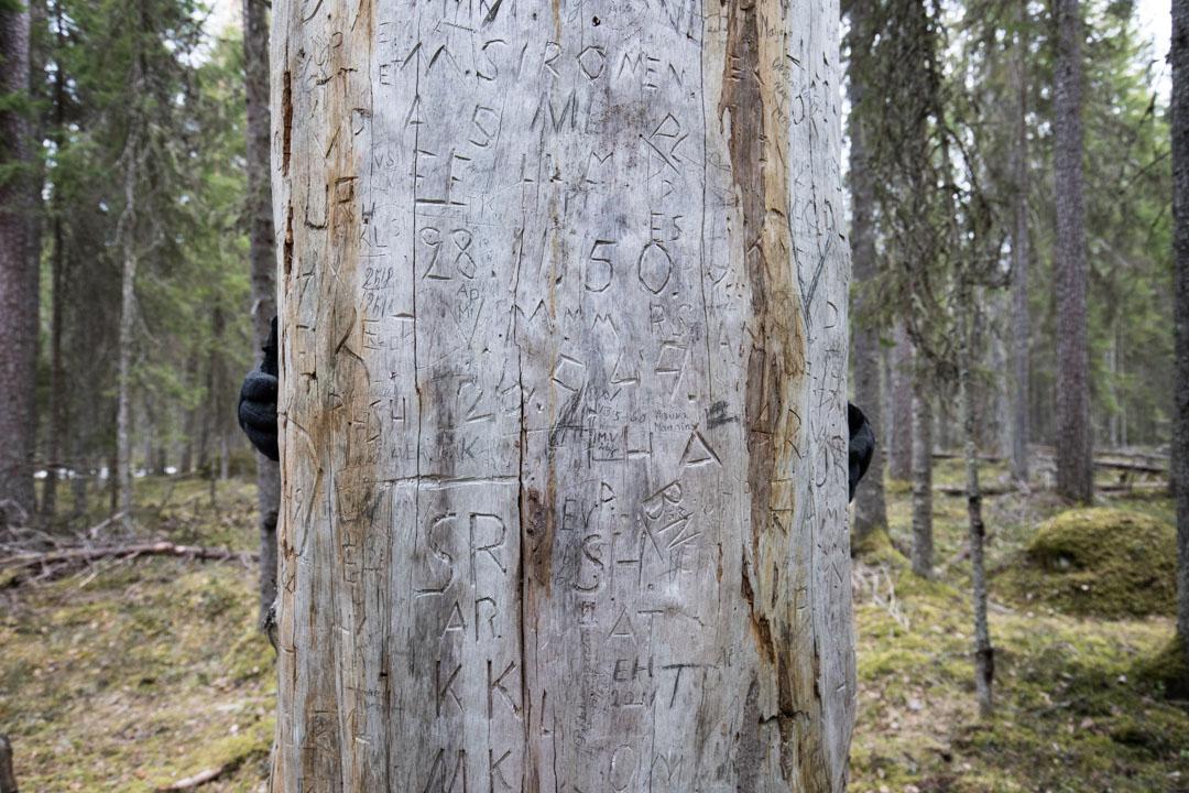 Vanhin Iso Puu Pyhä-Häkin kansallispuistossa