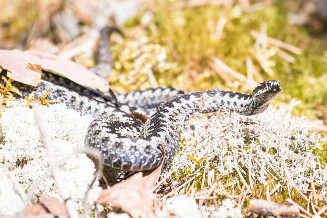 kyykäärme Rokuan kansallispuistossa