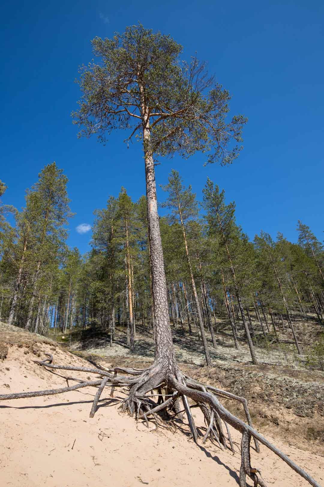 puu Rokuan kansallispuistossa
