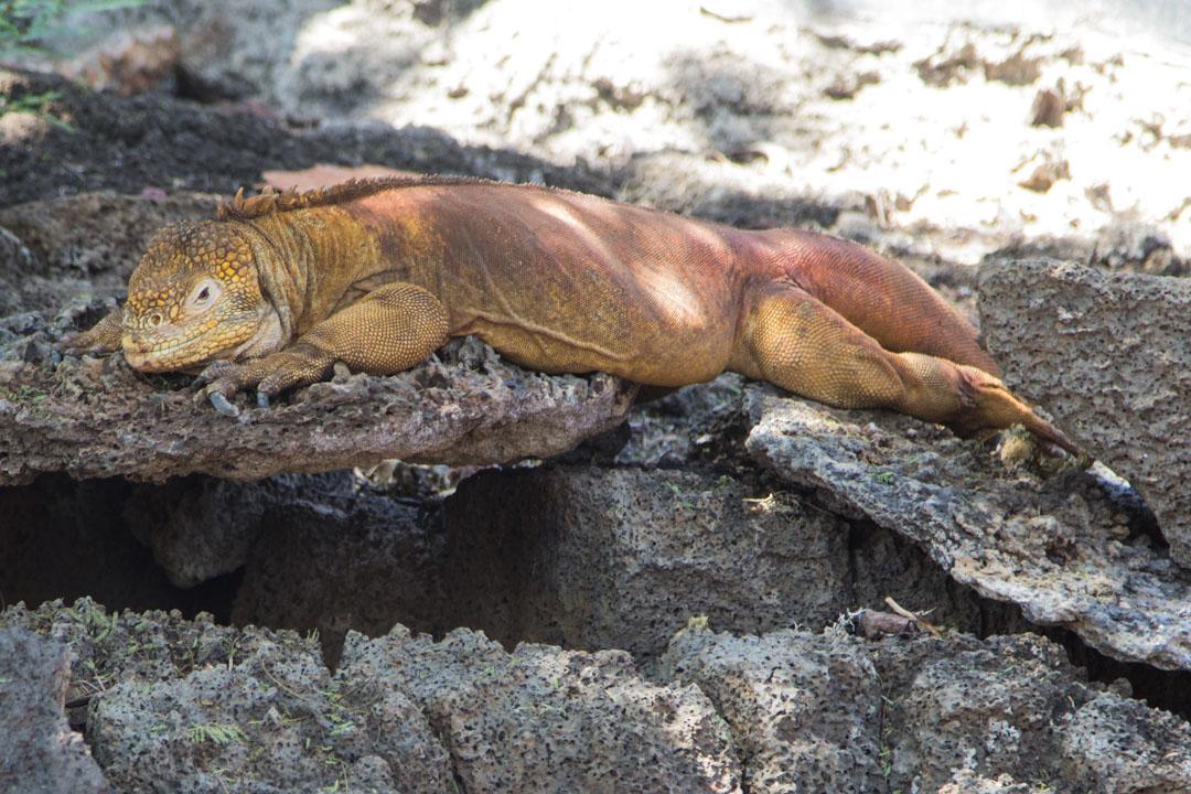 maaleguaani Charles Darwinin tutkimusasema Santa Cruz -saarella Galapagossaarilla