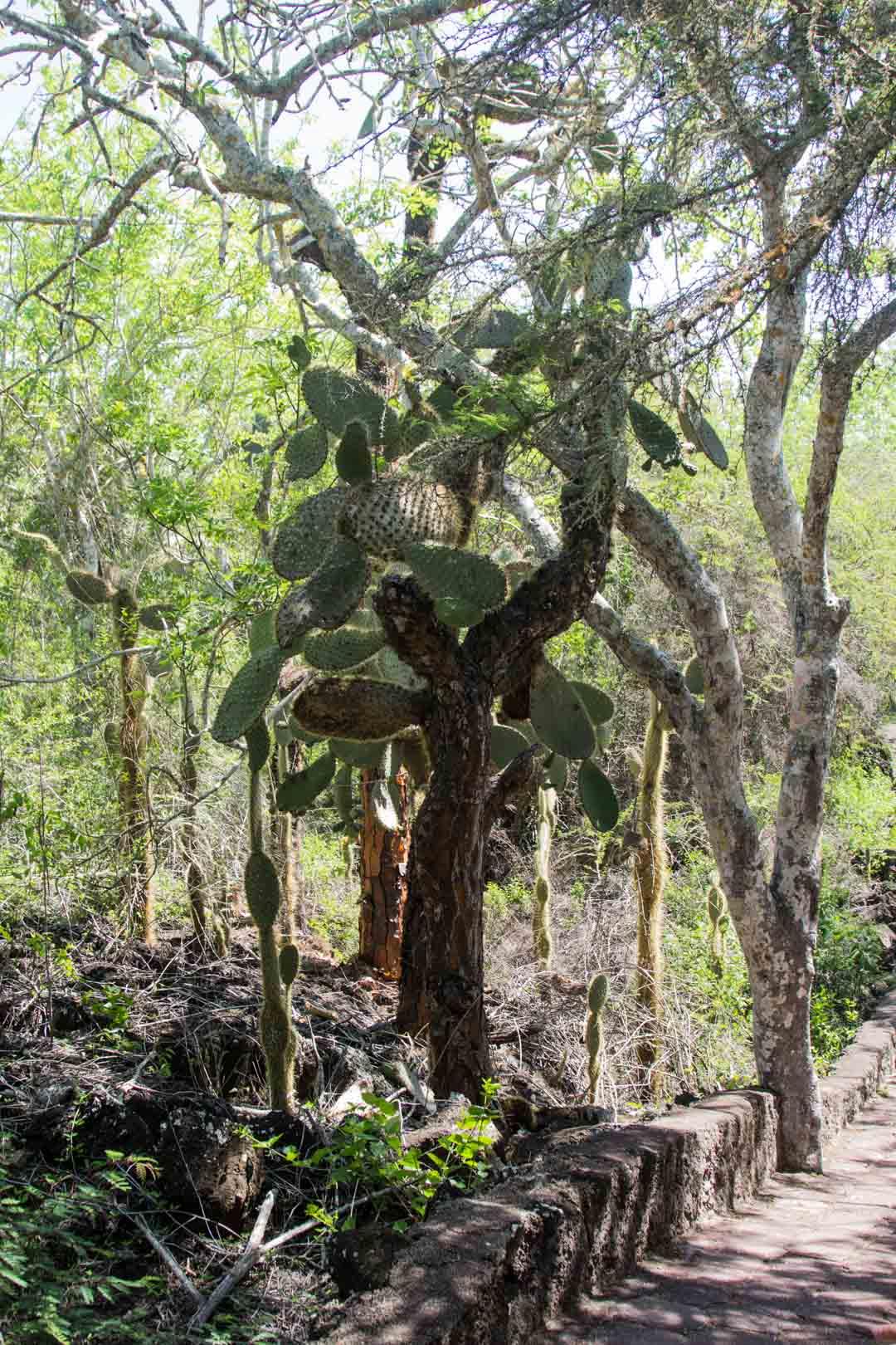 kaktus Galapagossaarilla