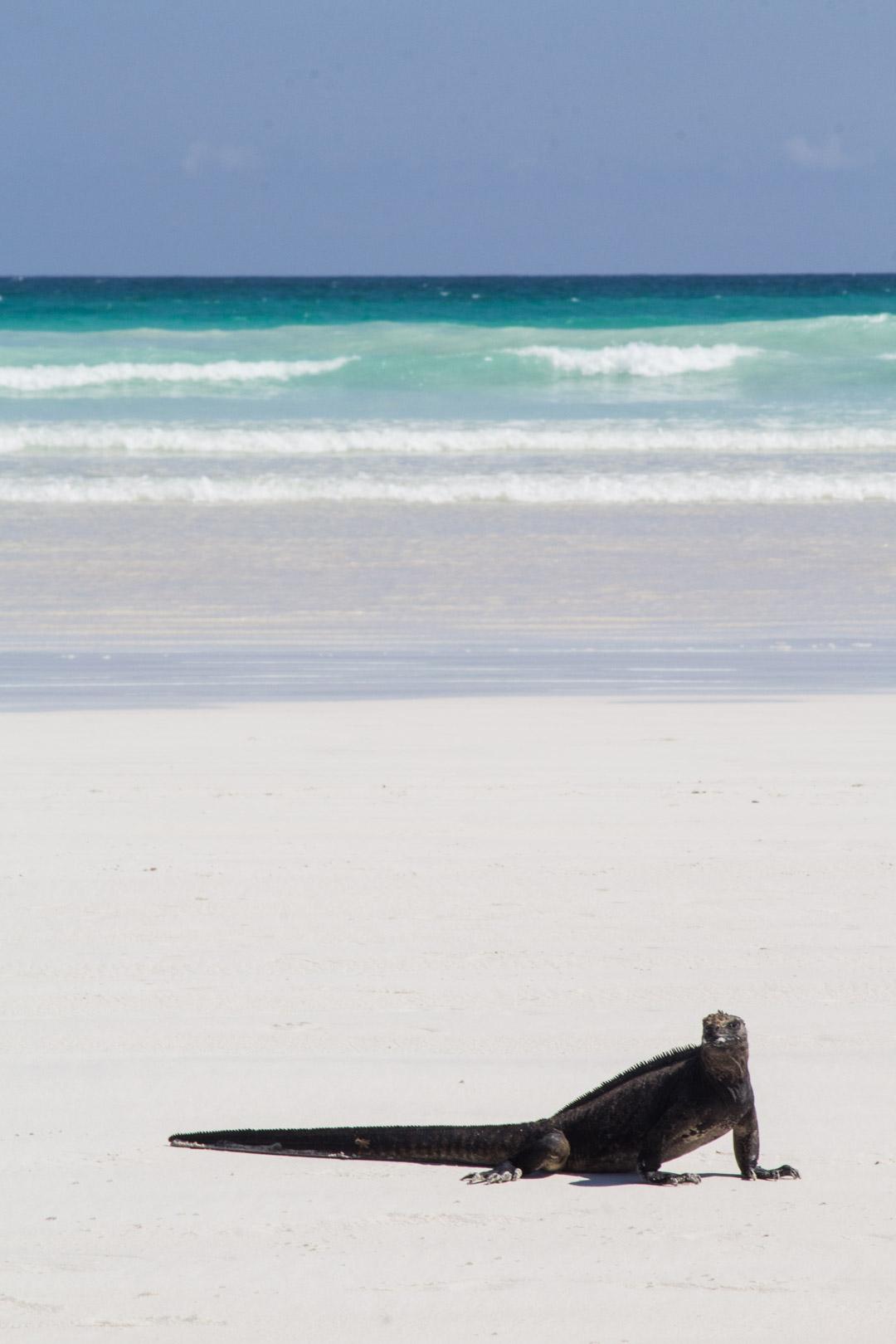 merileguaani Tortuga Bayn rannalla Santa Cruzin saarella Galapagossaarilla