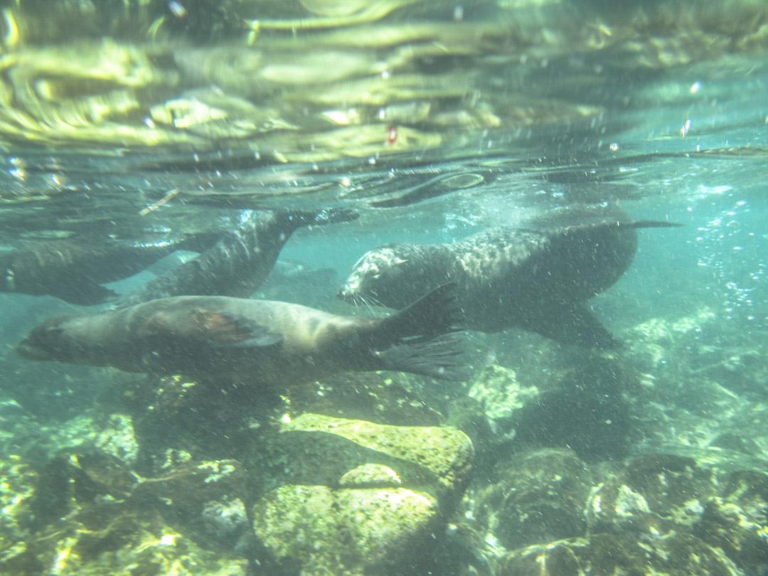 snorklaamassa merileijonien kanssa Santa Fen saaren edustalla Galapagossaarilla
