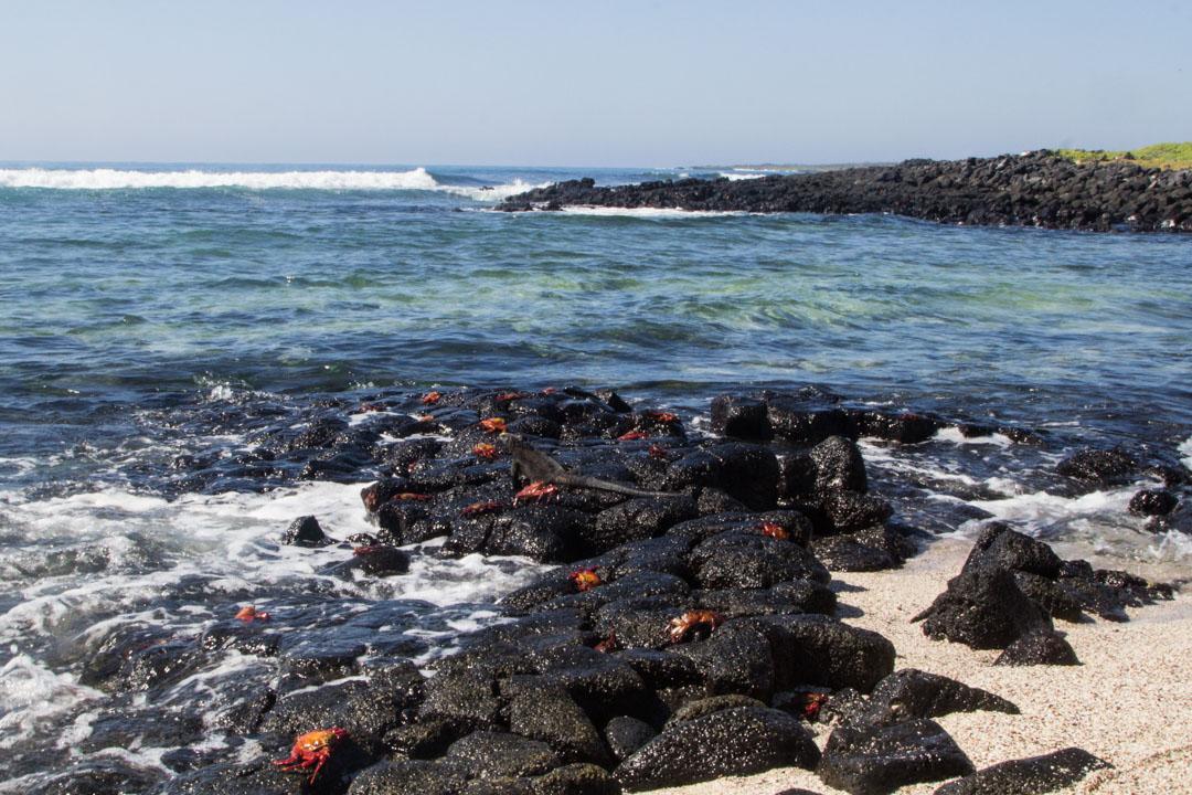 merileguaani ja rapuja Santa Fen saarella Galapagossaarilla