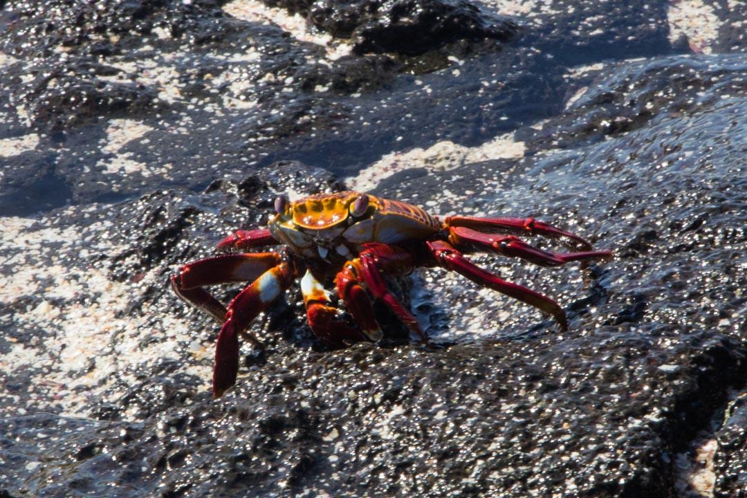 rapu Santa Fen saarella Galapagossaarilla