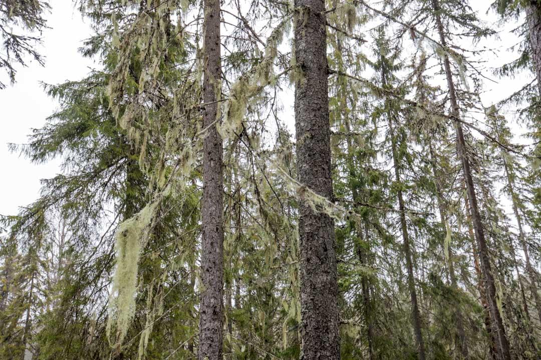 Naavaa Helvetinjärven kansallispuistossa