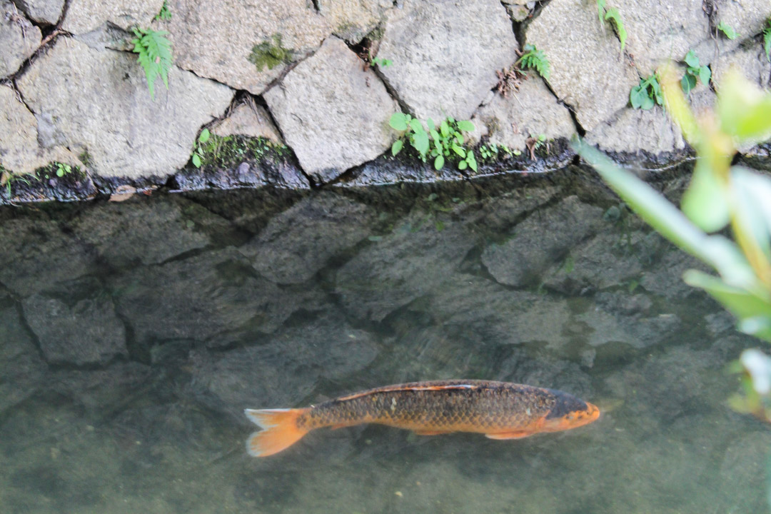 karppi filosofin polulla Kiotossa Japanissa