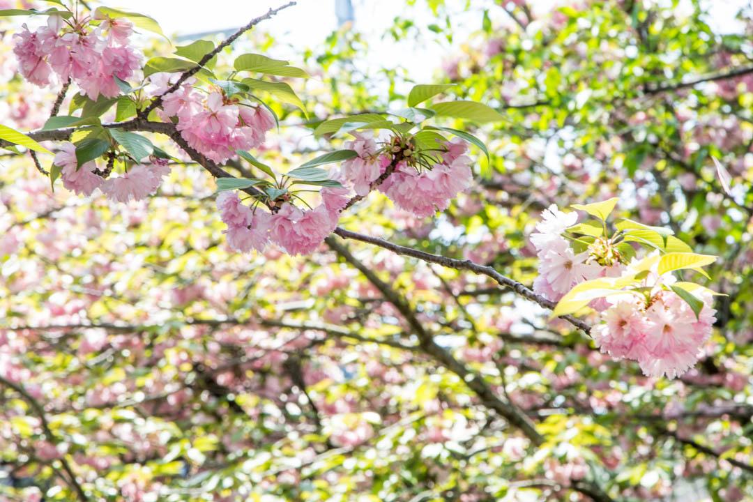 kirsikankukkia filosofinpolulla Kiotossa Japanissa