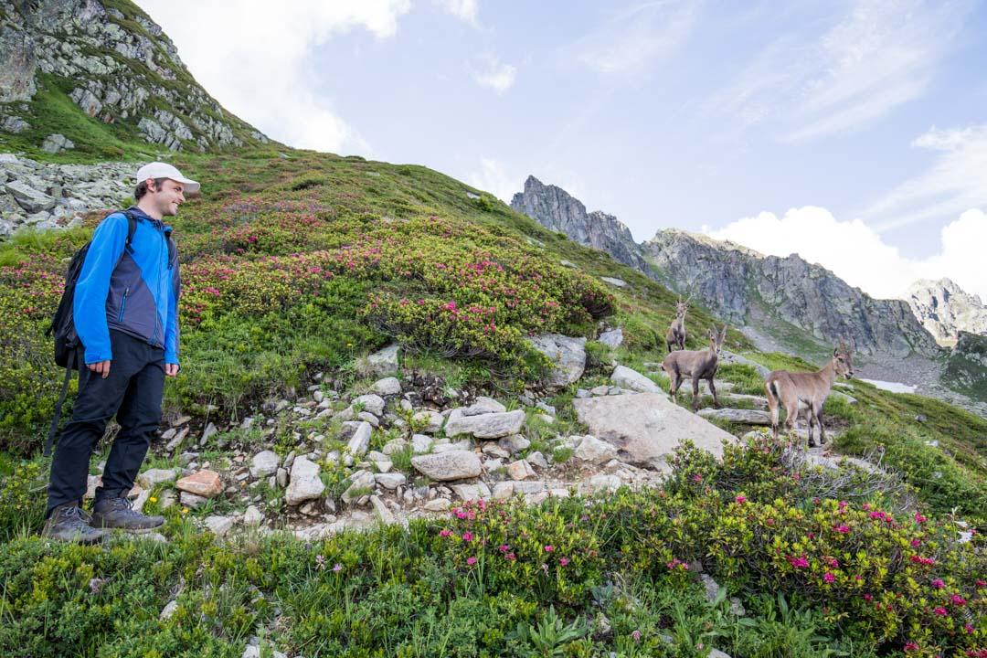 gemssejä Lac Cornu -vaelluksella Ranskassa Chamonix