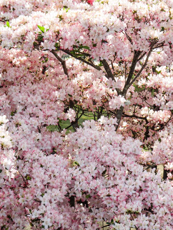 kirsikankukkia Kiotossa Japanissa