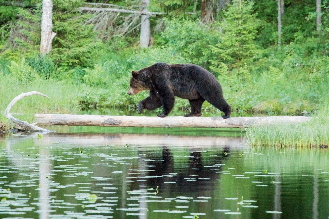 karhu ylittämässä lampea