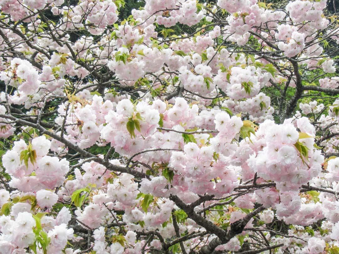kirsikankukkia sakura-aikaan Japanissa